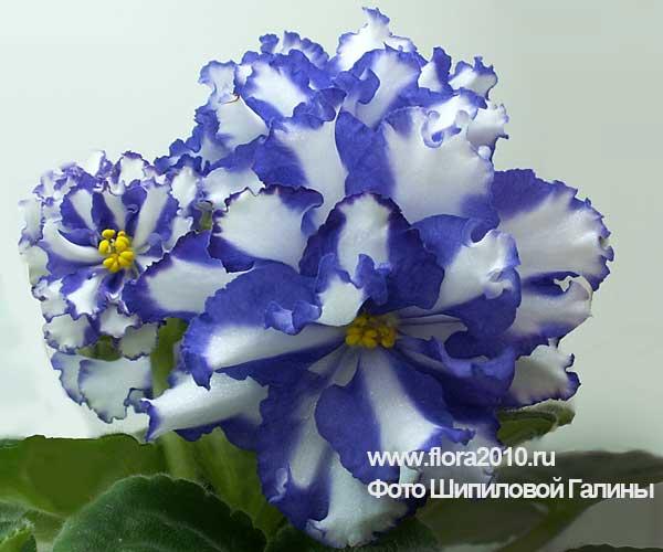 Цветущие комнатные растения  Начинающему цветоводу