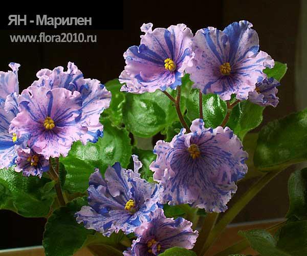Колокольчики цветы сорт 172