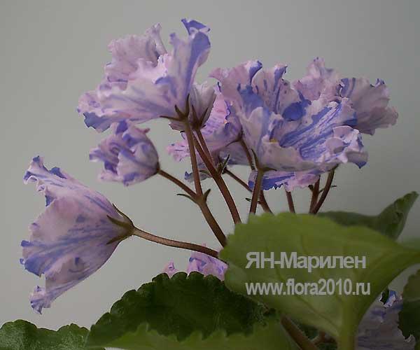 Колокольчики цветы сорт 153