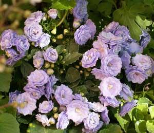 Комнатные цветы кампанула купить в украине офсетная печать служба доставки цветов москва